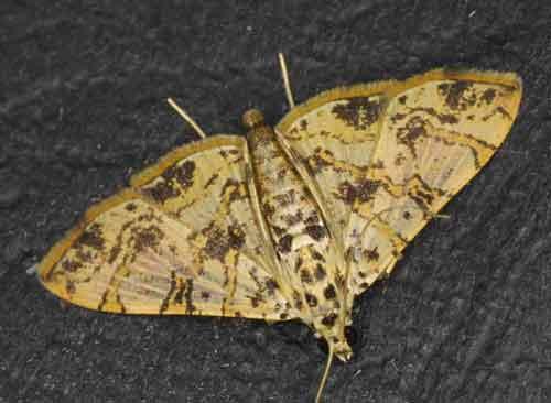 Glyphodes caesalis species Pyraustinae)