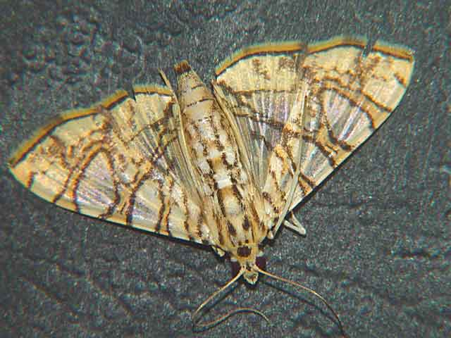Glyphodes caesalis species1 Pyraustinae)