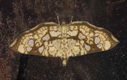 Glyphodes canthusalis group Pyraustinae)