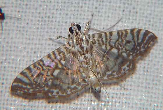 Glyphodes onychinalis Pyraustinae)