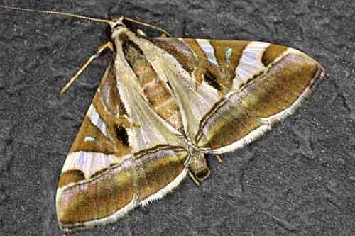 Glyphodes stolalis (Pyraustinae)