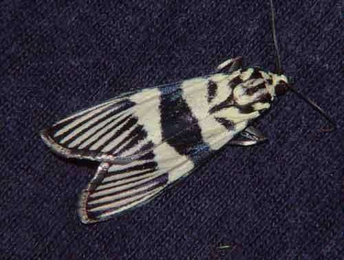 Heortia vitessoides (Odontiinae)