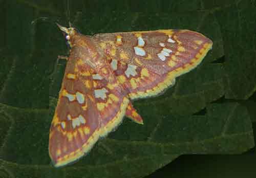 Ischnurges gratiosalis (Spilomelinae)