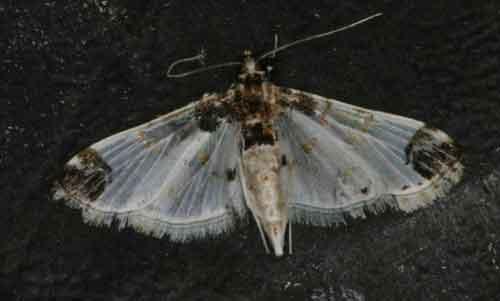 Leucinodes apicalis (Spilomelinae)