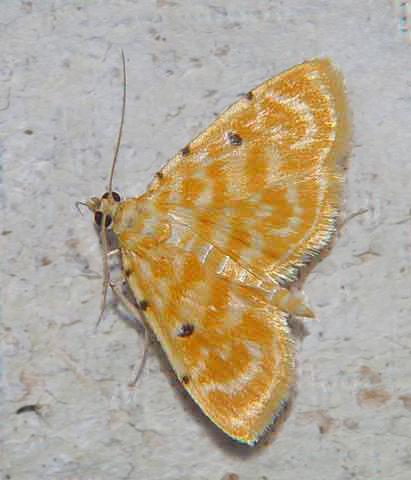 Lygropia quaternalis (Pyraustinae)