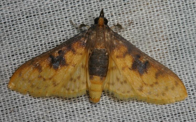 Pachynoa sabelialis