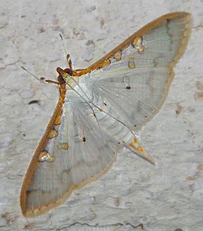 Palpita annulifer (Pyraustinae)
