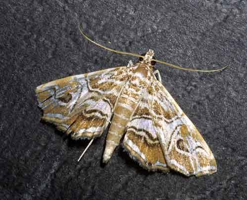 Paracymoriza vagalis (Nymphulinae)