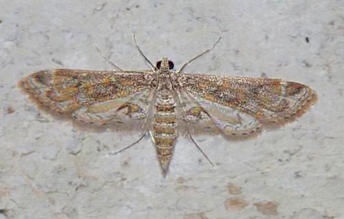 Parapoynx diminutalis (Nymphulinae)