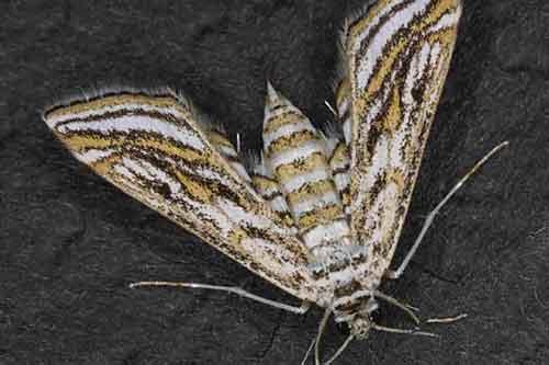 Parapoynx fluctuosalis (Nymphulinae)