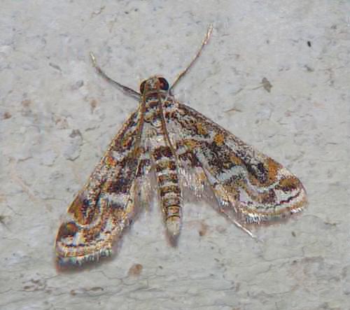 Parapoynx sp (Nymphulinae)