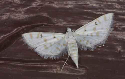 Parapoynx stagnalis (Nymphulinae)
