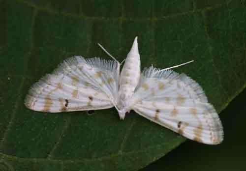 Parapoynx stagnalis 1 (Nymphulinae)