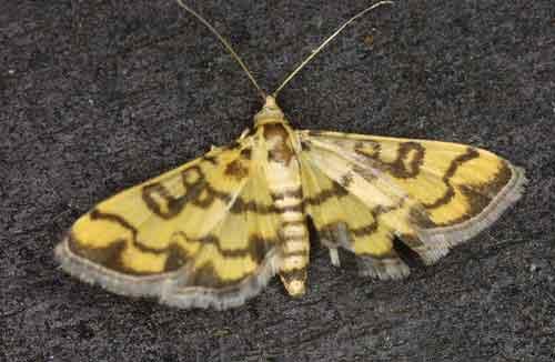 Pardomima distorta (Spilomelinae)