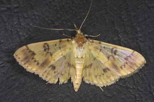 Pleuroptya iopasalis (Spilomelinae)