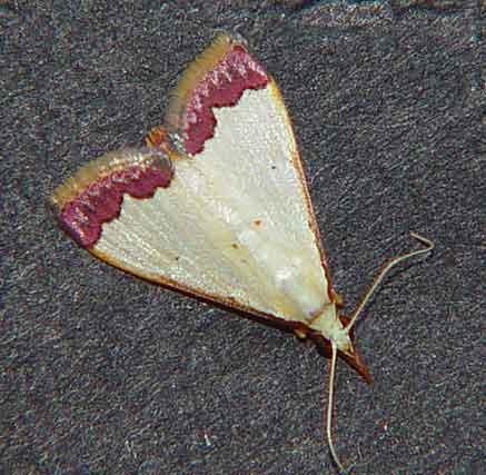 Pseudonoorda Spp (Odontiinae)
