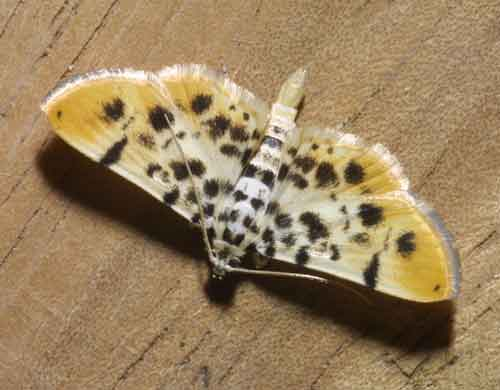 Pycnarmon sp (Pyraustinae)