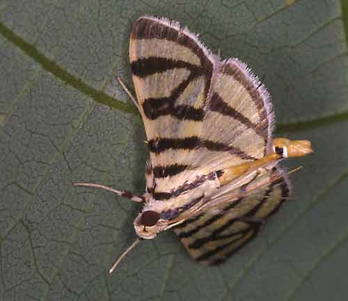 Pycnarmon species 1 (Pyraustinae)