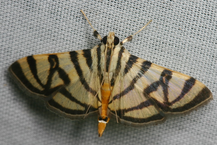 Pycnarmon species 3 (Pyraustinae)