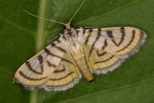 Pycnarmon species2 (Pyraustinae)