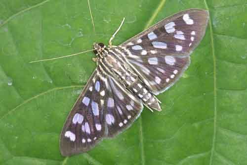 Pygospila tyres (Pyraustinae)
