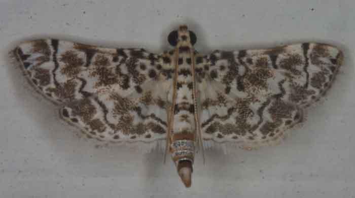 Metoeca foedalis