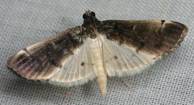 Pyraustinae sp 3