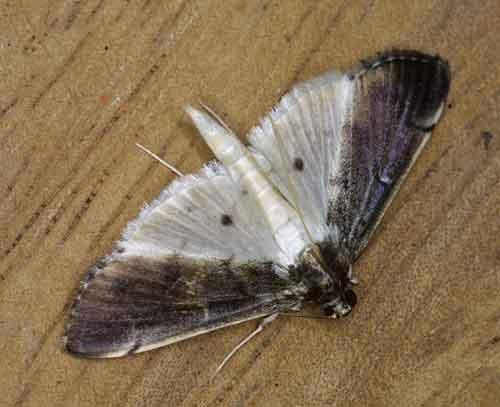 Pyraustinae sp