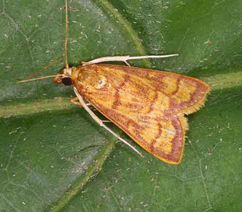 Pyraustinae sp 1