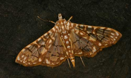 Pyraustinae sp 2