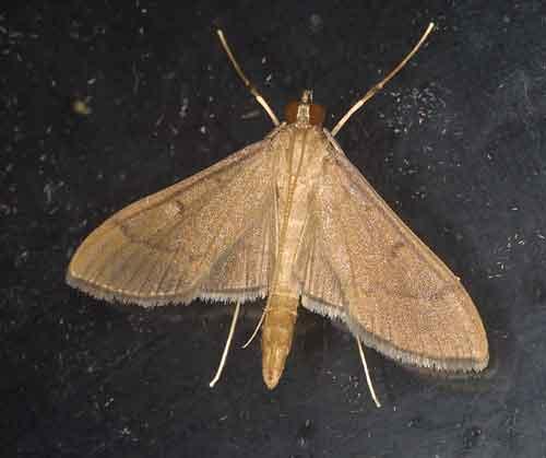 Pyraustinae sp 0