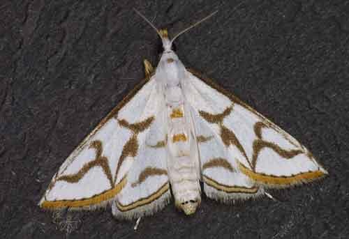 Ramila sp (Schoenobiinae)