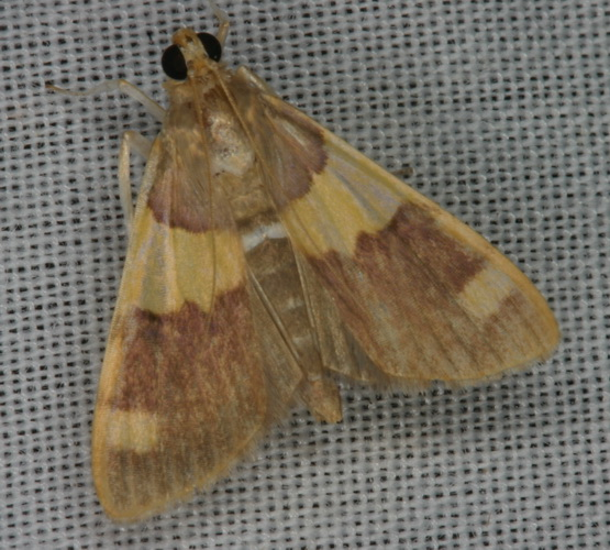 Rehimena phrynealis ( Spilomelinae) close
