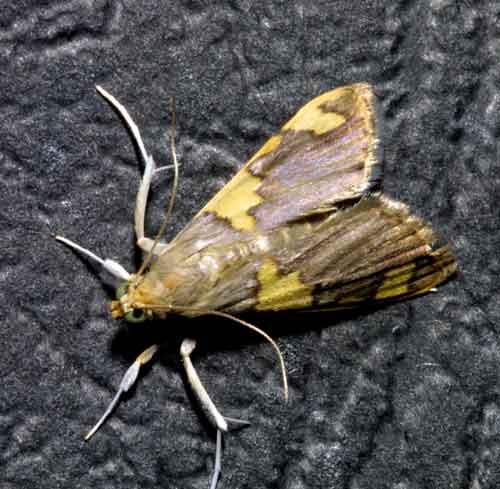 Rehimena phrynealis ( Spilomelinae)