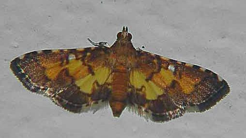 Syngamia Sp (Pyraustinae)
