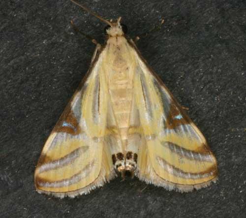 Talanga sexpunctalis (Pyraustinae)