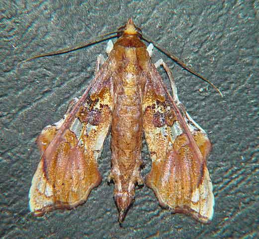 Terastia egialealis (Pyraustinae)