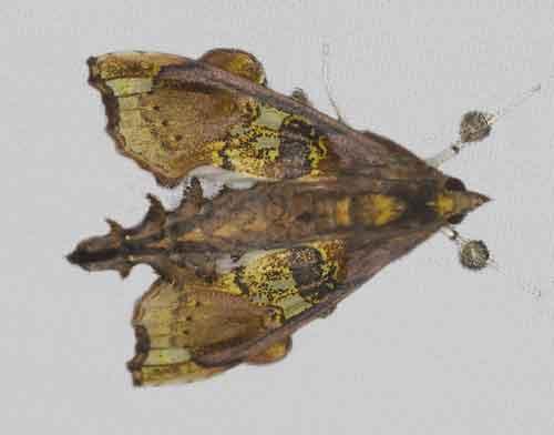 Terastia egialealis 1 (Pyraustinae)