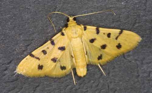 Xanthomelaena schematias close (Pyraustinae)