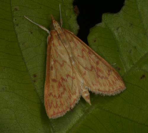 Antigastra catalaunalis or close