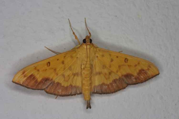 Botyodes asialis Pyraustinae