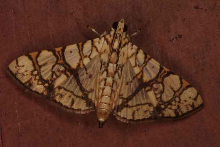 Glyphodes caesalis