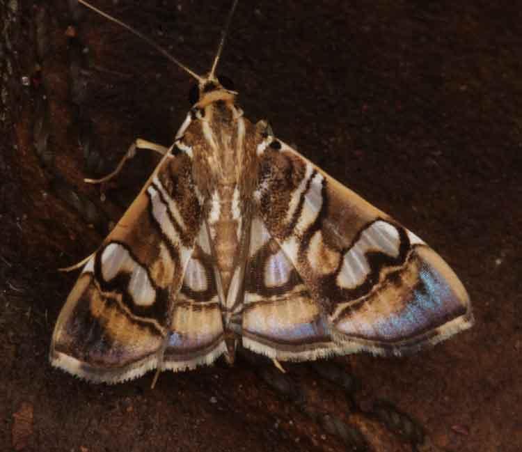 Glyphodes sp