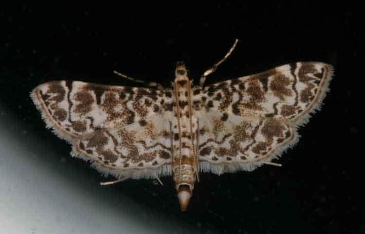 Metoeca foedalis (Spilomelinae)