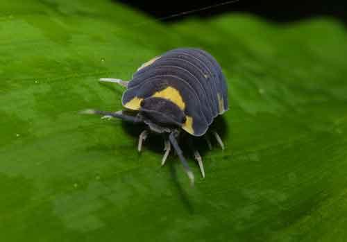 pillbug (isopoda) 2