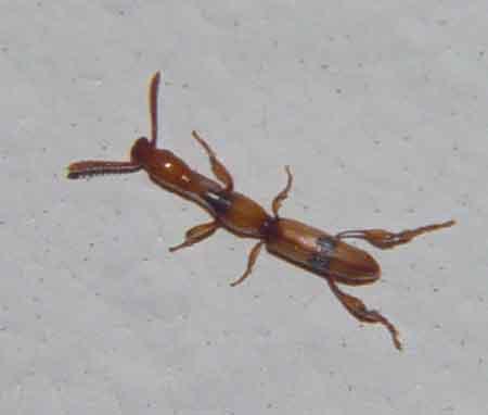 Brentidae, tribe Cyphagogini