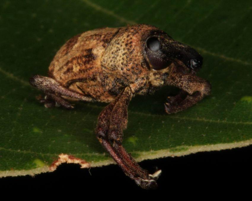 Sternochetus frigidus