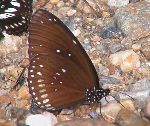 Euploea core