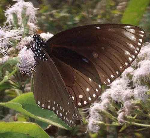 Euploea klugii