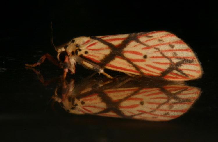 Arctiidae Barsine pallinflexa